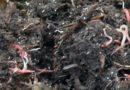Старатель — лучший червь для производства биогумуса