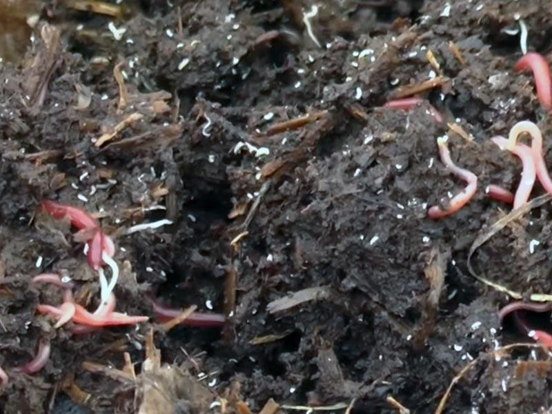 Породы червей для разведения