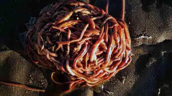 черви - простой домашний бизнес